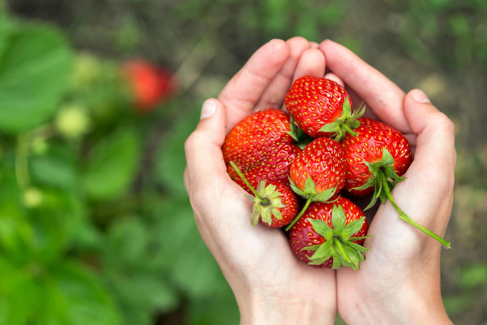 cueillir des fraises en entreprise normande